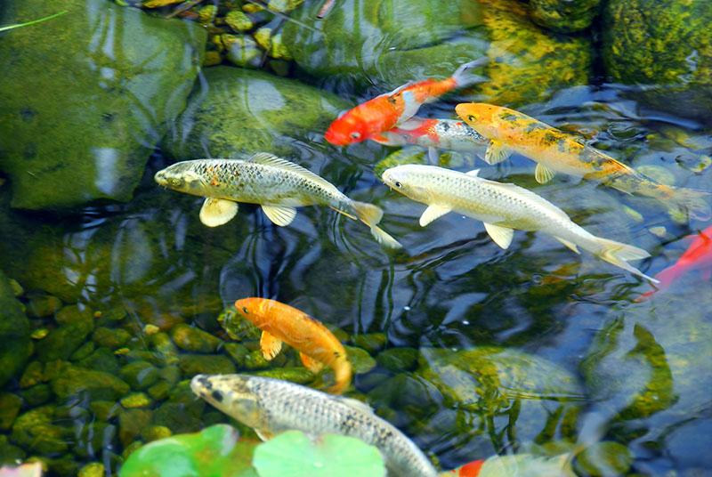 koi fish and goldfish in garden fish pond