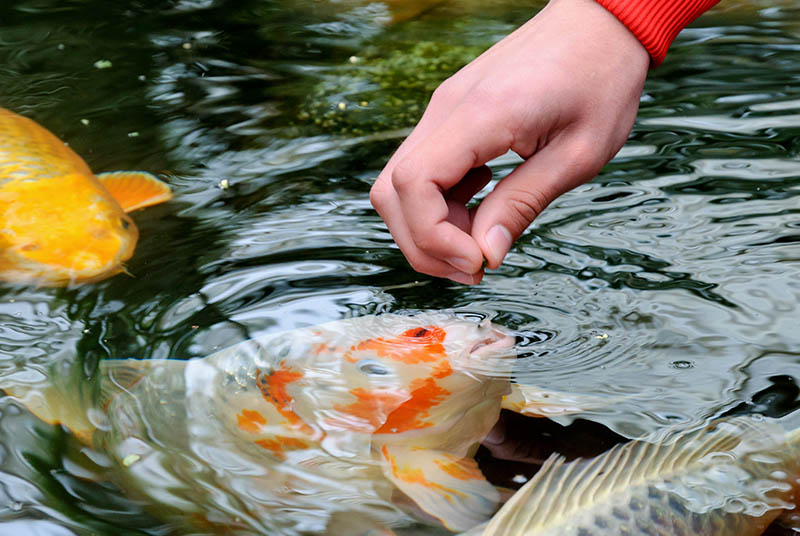 feeding fish with pond fish food